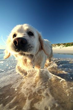 I can see my dog doing this. #golden #goldenretriever #dog
