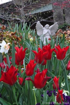 'Pieter de Leur' tulip | A frustrated gardener lives here--Red Dirt Ramblings