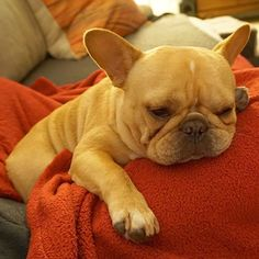 When u realize u did literally nothing all day and tomorrow is Monday #notmoving #frenchie #frenchbulldog