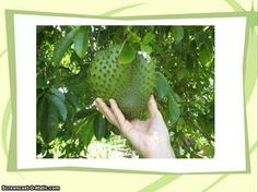 ▶ Graviola Soursop - Is Soursop Most Effective Immune System Booster and All natural Cancer Cure? - Video Dailymotion