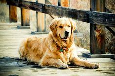 Tuck :), golden retriever, dog