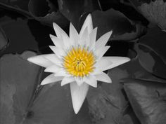 Black And White Photography Flowers With Color , Black And White ...