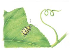 Controlling Cucumber Beetles - Vegetable Gardener