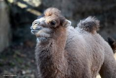baby camel Baby Animals, Cute Animals, Bactrian Camel, Baby Camel, Cincinnati Zoo, New Kids, Animal Kingdom, Habitats, Fur Babies