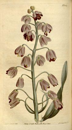 Fritillaria persica - circa 1813