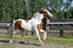 Free Image on Pixabay - Horse, Irish Cob, Galop, Horses Pony Breeds, Horse Breeds, Free Horses, Wild Horses, Palomino, Dressage, Highland Pony, Largest Horse Breed, Connemara Pony