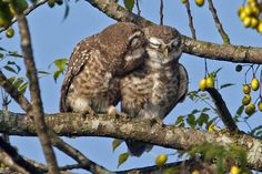 Spotted Owlets (Athene brama), spotted by Vijay Anand Ismavel in Assam, India