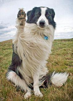 Lindo perro de pastoreo mostrando su presencia.