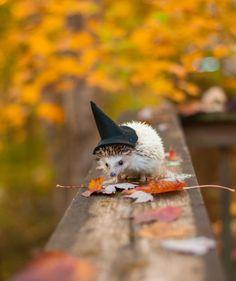 autumn, Halloween, and hedgehog image Cute Funny Animals, Cute Baby Animals, Animals And Pets, Animals Images, Hedgehog Pet, Cute Hedgehog, Hedgehog House, Tier Fotos, Animals Beautiful