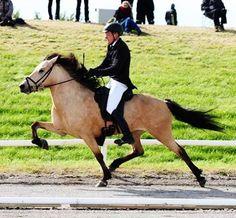 686 vind-ik-leuks, 3 reacties - Steinnes Horse Breeding farm (@steinnes.breedingfarm) op Instagram: 'Sigyn frá Steinnesi Total 8.12 F: Kraftur frá Efri-Þverá M: Silja frá Steinnesi - #häst #hest…'