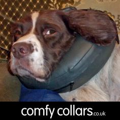 "Louis wearing his Comfy Collar Size 3... ""My English Springer Spaniel Louis had an operation to remove two lumps. He is not stressed at all and has worn the Comfy Collar with no problems. I got it because I am disabled and the last time he wore a buster collar he ran into me and knocked me over causing injuries to myself! I recommend the Comfy Collar and wished I had one of these last year."" ...by Jackie"