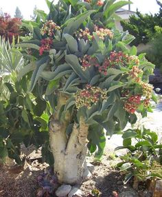 Cyphostemma juttae Caudiciform Succulent Double Stem 72
