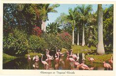 Vintage Florida Postcard - Flamingos in Tropical Florida