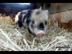▶ Micro Pigs - Up Close and Personal - YouTube