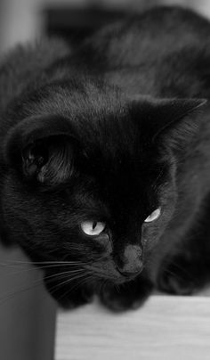 Black cat my kitty boo Beautiful Cats, Animals Beautiful, Cute Animals, Stunningly Beautiful, Crazy Cat Lady, Crazy Cats, I Love Cats, Cool Cats, White Cats