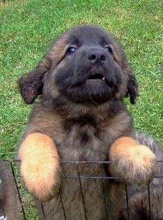 Leonberger Puppy I haw a leonberger!!! Best dogs ever