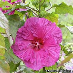 Plum Crazy is one of the famous Fleming Hybrids with a 10 inch flower, purplish-green maple-cut leaves. Only 4 ft. tall. PP