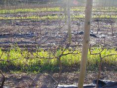 #Planting2012 #PinotNoir #LaViergeWines Pinot Noir, Planting, South Africa, Tourism, Window, Virgos, Turismo, Plants, Windows