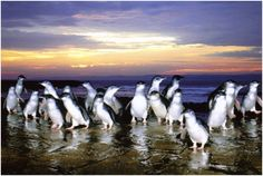 Witness the world phenomenon of the Penguin Parade. The Little Penguins return to their burrows from the sea each evening at dusk after travelling 100km off shore. http://www.lokshatours.com/day-tours/melbourne-day-tours