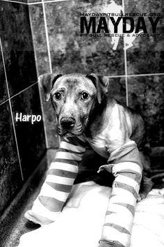 M  Harpo, dog fighting ring survivor