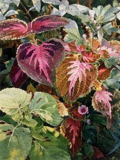 Sing of Coleus by Estelle Lavin Watercolor Leaves, Watercolour Painting, Floral Watercolor, Watercolors, Portrait, Plant Images, Leaf Art, Botanical Art, Flower Art