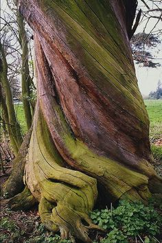 tree trunk twisted by the plant's turning towards sunlight as it grew  Just needs a carved man looking out.....!!!