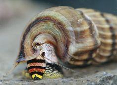 Sulawesi King Snail - (http://www.eliteinverts.com/sulawesi-king-snail/)
