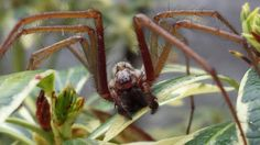 Species: Tegenaria sp.  Credit: Leanne Cherrett  Identify your house spiders with our FREE app! https://www.societyofbiology.org/get-involved/hands-on-biology/spider-app