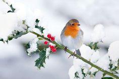 robin in the winter - Google Search