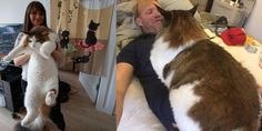 Meet Samson – The Fattest Cat In New York City