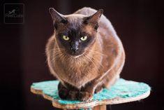 937abcd87a Las 46 mejores imágenes de Gato Burmés en 2019   Gatos y gatitos ...