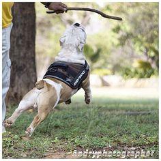"""#Ezydog #ezydoguk @ezydog @ezydoguk #bulldogs #Bulldogsmcbo #harness #capo #naturaleza #dogoupic @perrosshowdevenezuela @revistaepets @tumundoanimal @mundocaninooficial"" Photo taken by @capo.bulldogvzla on Instagram, pinned via the InstaPin iOS App! http://www.instapinapp.com (03/31/2015)"