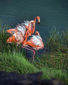 BIRDS OF A FEATHER: The Greater Flamingo is one of the most elusive yet colorful birds in the enchanted Galapagos Islands. // photo: @browncannoniii
