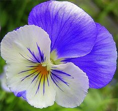 Stunning photo of a blue and white pansy Amazing Flowers, Beautiful Roses, Pretty Flowers, Tropical Flowers, Spring Flowers, Beautiful Flowers Wallpapers, Arte Floral, Flower Pictures, Botanical Illustration