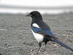 Pica pica/Eurasian magpie/カササギ/resident bird