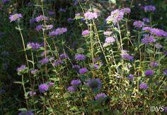 Monardella villosa 'Russian River' | California Flora Nursery