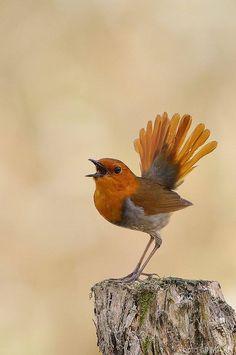 Japanese robin (Erithacus akahige) by Masahiko Kobayashi