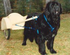 Newfoundland dog and cart