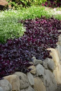 Alternanthera Little Ruby - Great for landscapes and container gardening Garden Catalogs, Plant Catalogs, Types Of Grass, Types Of Plants, Landscaping With Rocks, Front Yard Landscaping, Landscaping Ideas, Monrovia Nursery, Low Maintenance Garden Design