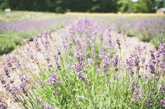 Lavender Hill Farm of Niles {Niles, MI}
