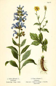 GARTENSALBEI NELKENWURZ Botanik Farbdruck Antiker Druck Antique Botanical Print