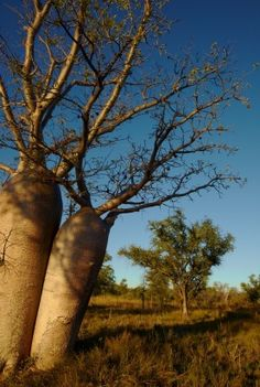Kimberley Western Australia - Boab trees