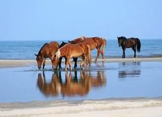 corolla, outer banks, north carolina.  rent a beachfront house and watch the wild horses-yes, wild horses- roam the beaches.