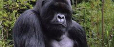 Gorilla Treks, Uganda and Rwanda