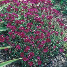 Aubrieta Deep Red Rockcress