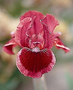 ~'Cat's Eye' dwarf bearded Iris