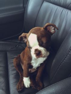 boston terrier sleeping sitting