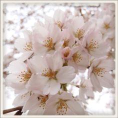 Cherry blossoms are at their peak. In my garden.