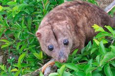 Stop the chainsaws: save the home of the Woodlark cuscus