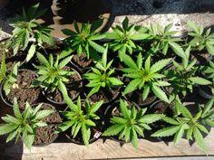 Konopí léčí. Konopná mast snadno doma, další způsoby, jak užívat konopí pro léčebné účely. Pěstování konopí. Nejznámější odrůdy technického konopí, ale také marihuanu na léčbu.